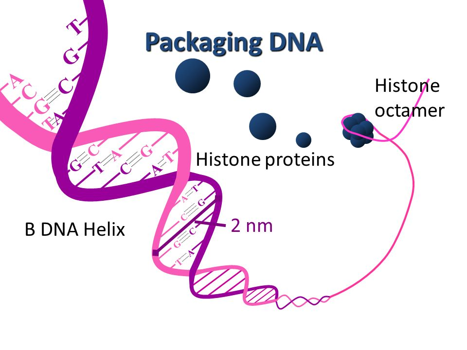 Packaging DNA T G A Histone C G C octamer Histone proteins 2 nm