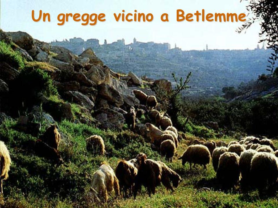 Un gregge vicino a Betlemme