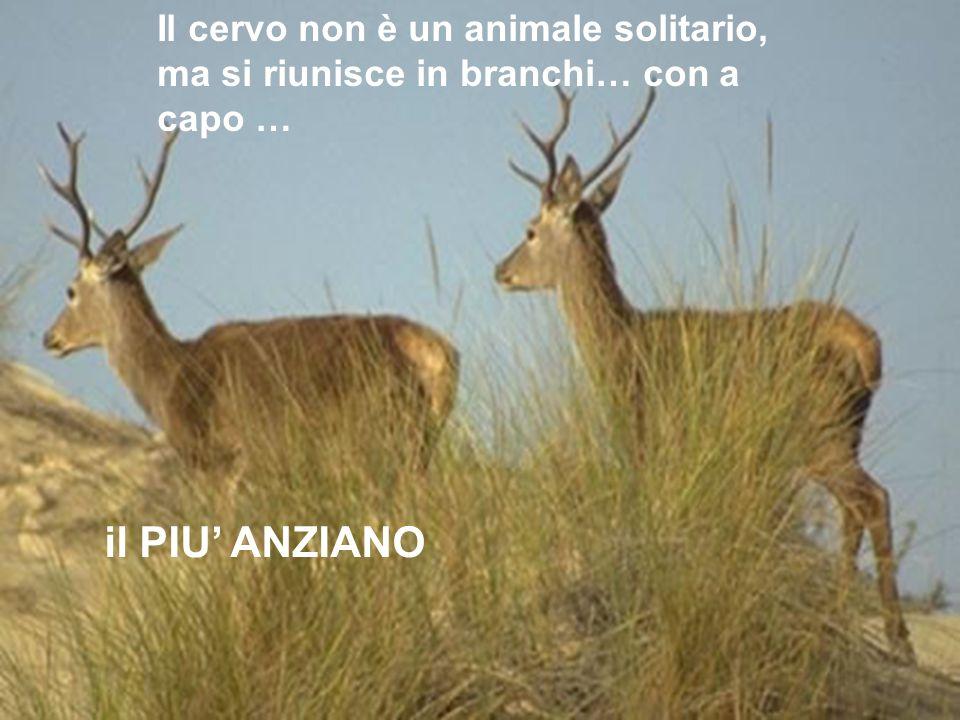 Il cervo non è un animale solitario, ma si riunisce in branchi… con a capo …