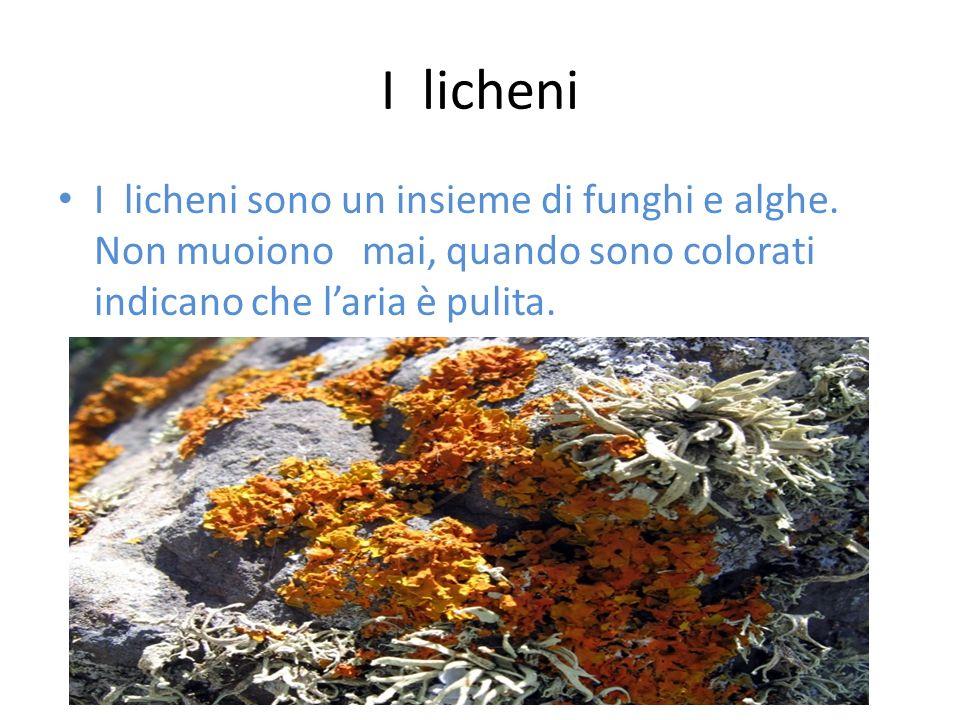 I licheni I licheni sono un insieme di funghi e alghe.
