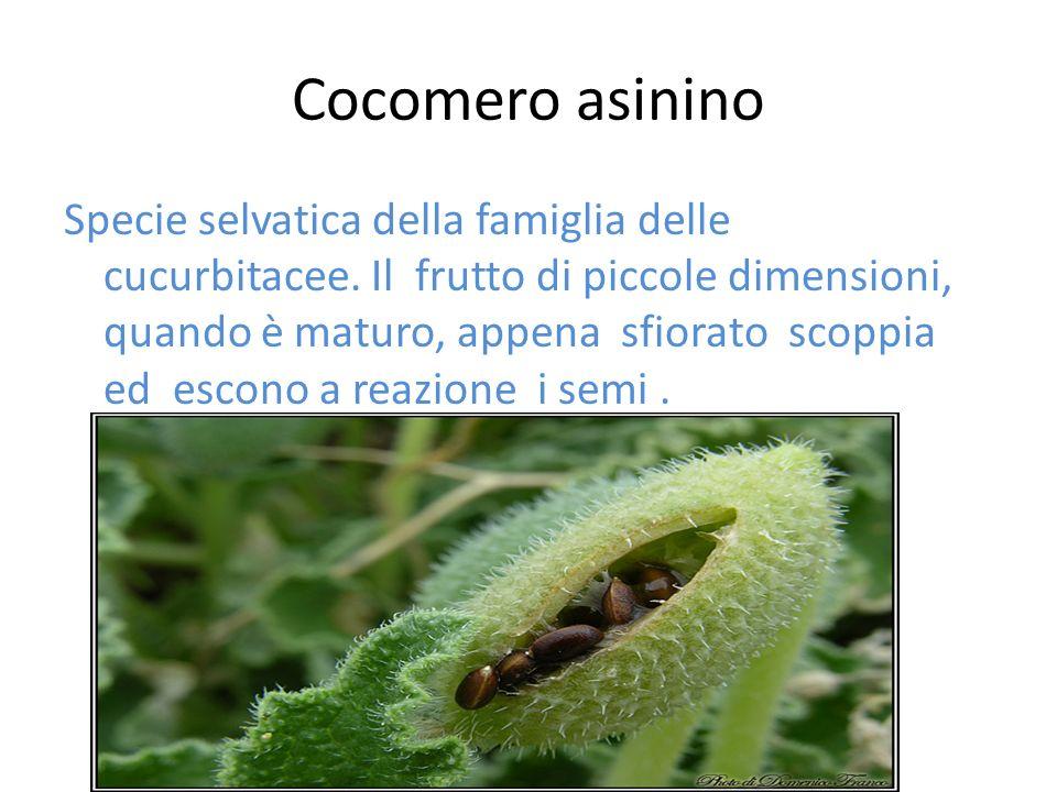 Cocomero asinino