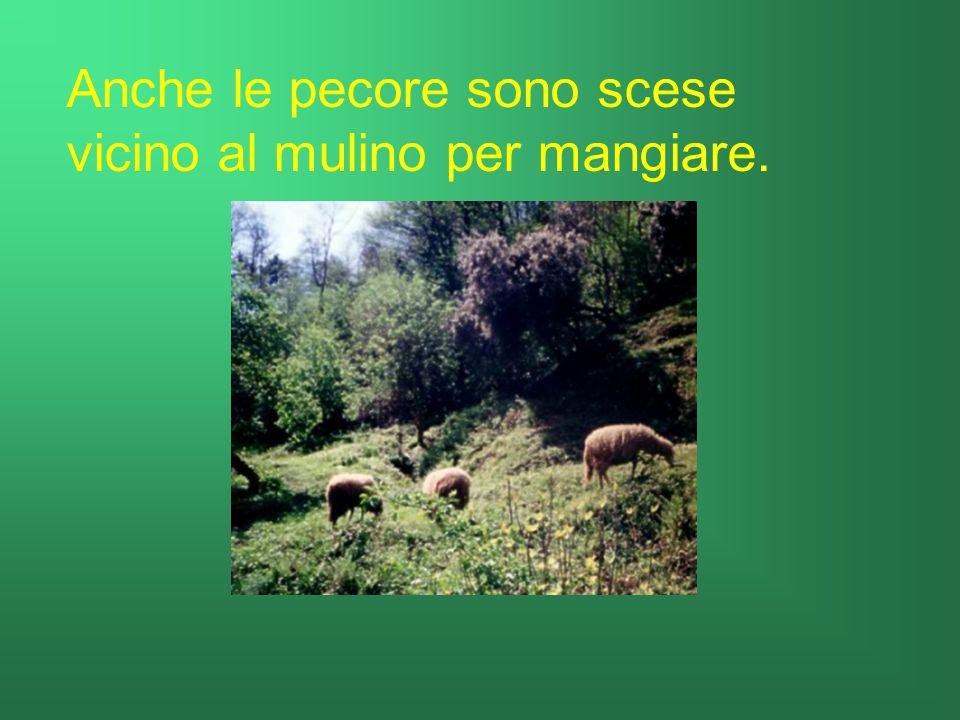 Anche le pecore sono scese vicino al mulino per mangiare.