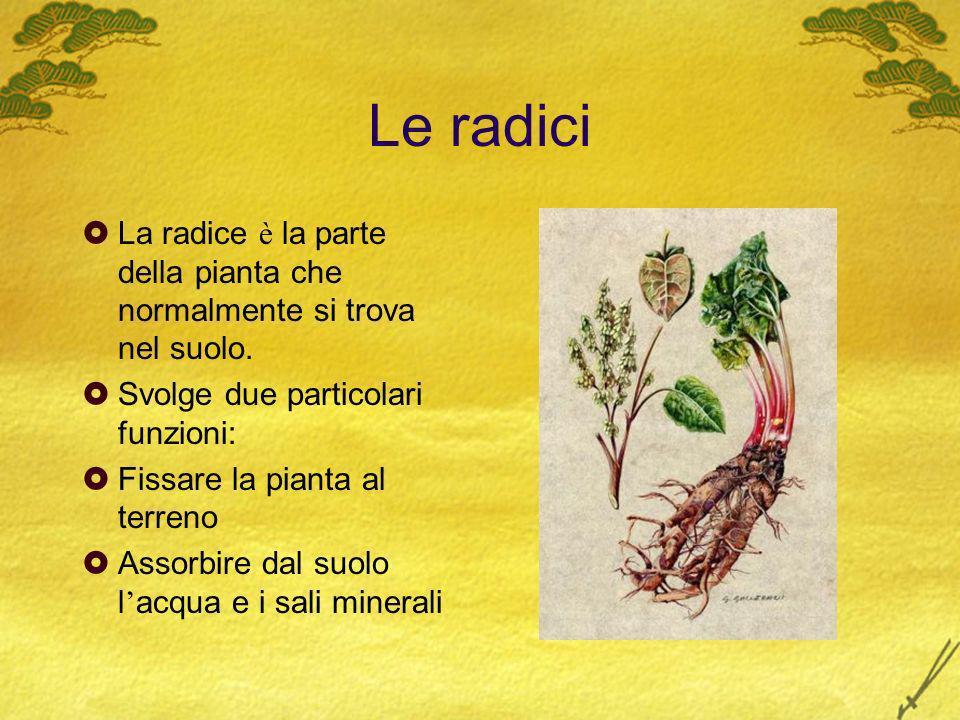 Le radici La radice è la parte della pianta che normalmente si trova nel suolo. Svolge due particolari funzioni:
