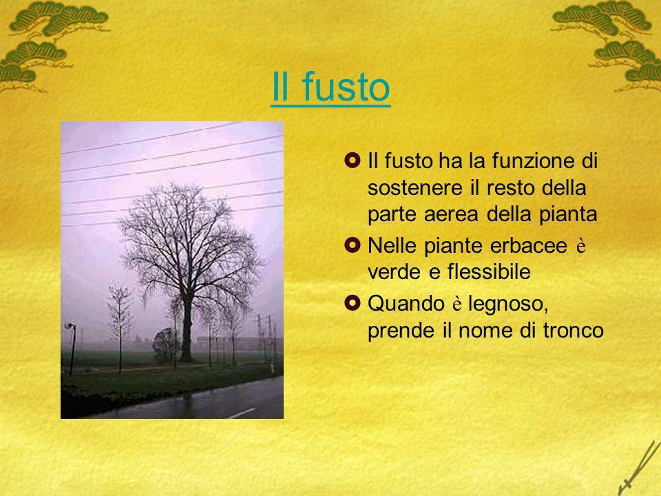 Il fusto Il fusto ha la funzione di sostenere il resto della parte aerea della pianta. Nelle piante erbacee è verde e flessibile.