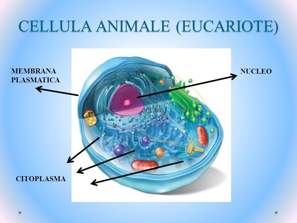 CELLULA ANIMALE (EUCARIOTE)