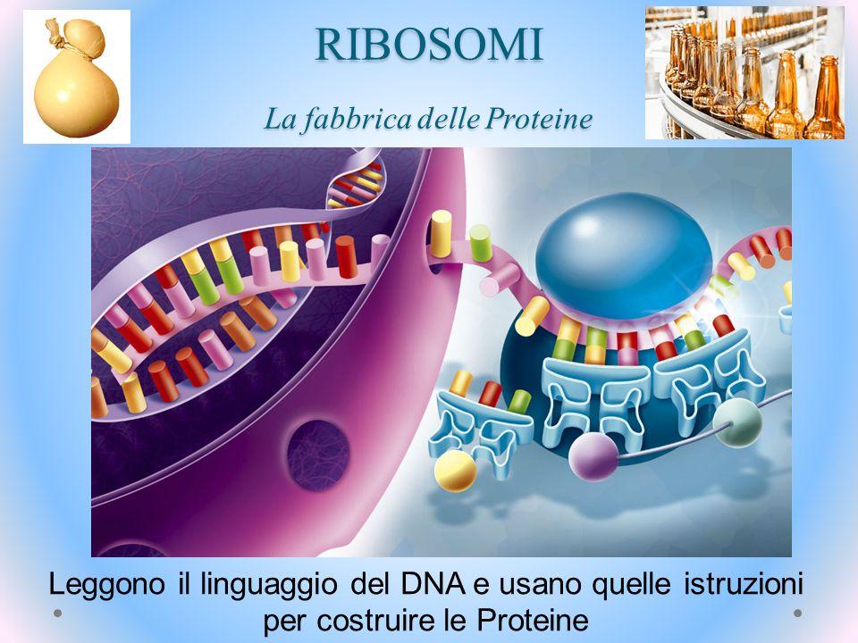 RIBOSOMI La fabbrica delle Proteine