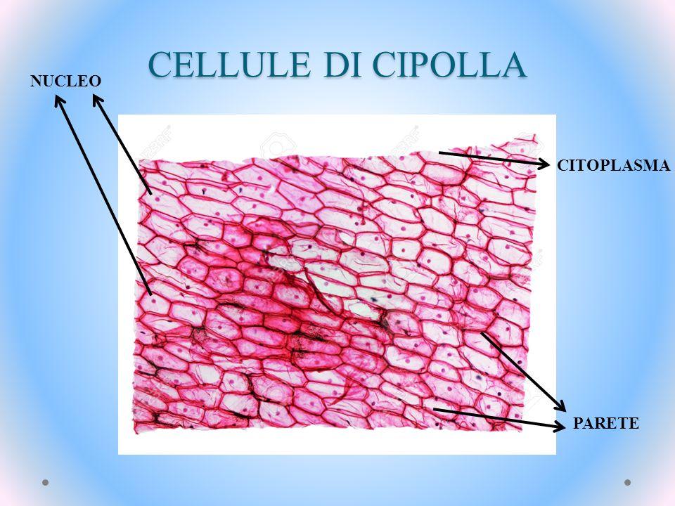 CELLULE DI CIPOLLA NUCLEO CITOPLASMA PARETE