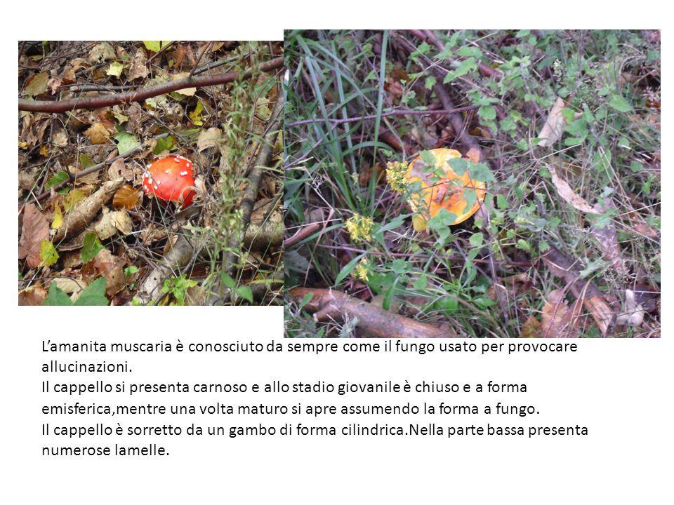 L'amanita muscaria è conosciuto da sempre come il fungo usato per provocare allucinazioni.