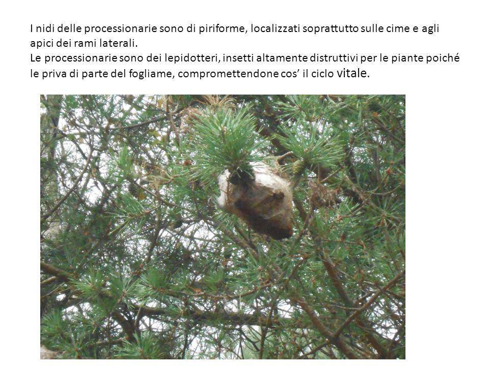 I nidi delle processionarie sono di piriforme, localizzati soprattutto sulle cime e agli apici dei rami laterali.