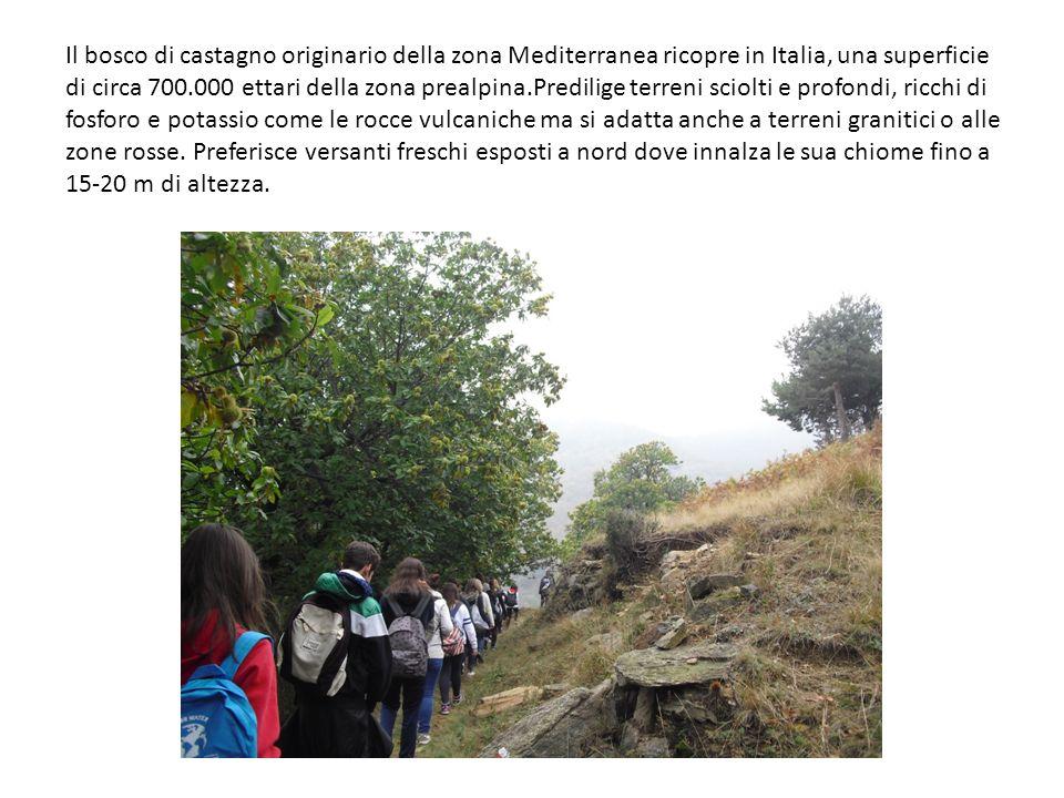 Il bosco di castagno originario della zona Mediterranea ricopre in Italia, una superficie di circa 700.000 ettari della zona prealpina.Predilige terreni sciolti e profondi, ricchi di fosforo e potassio come le rocce vulcaniche ma si adatta anche a terreni granitici o alle zone rosse.
