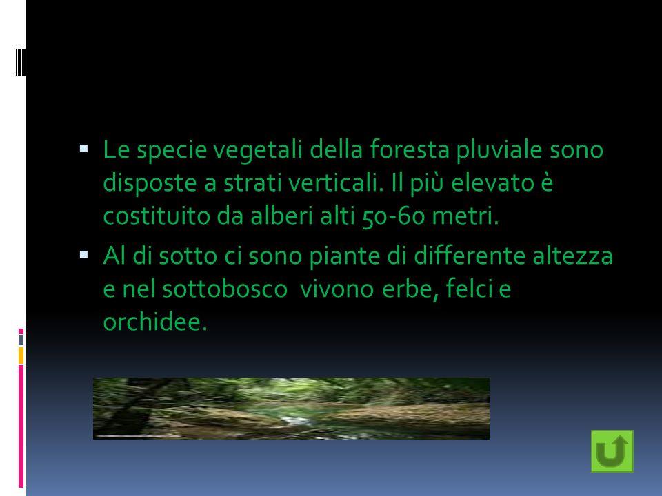 Le specie vegetali della foresta pluviale sono disposte a strati verticali. Il più elevato è costituito da alberi alti 50-60 metri.