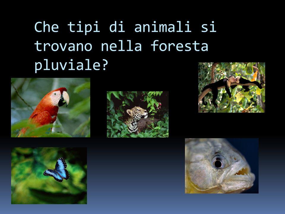 Che tipi di animali si trovano nella foresta pluviale