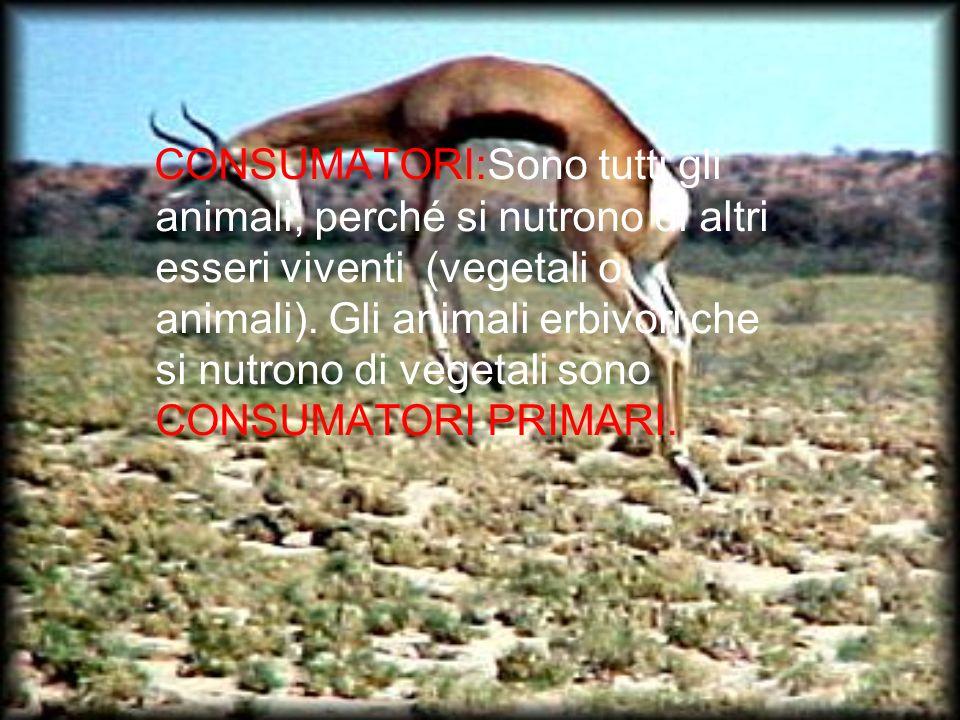 CONSUMATORI:Sono tutti gli animali, perché si nutrono di altri esseri viventi (vegetali o animali).