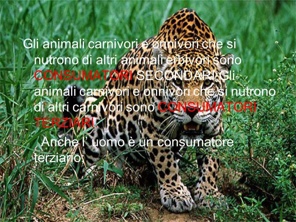 Gli animali carnivori e onnivori che si nutrono di altri animali erbivori sono CONSUMATORI SECONDARI;Gli animali carnivori e onnivori che si nutrono di altri carnivori sono CONSUMATORI TERZIARI.