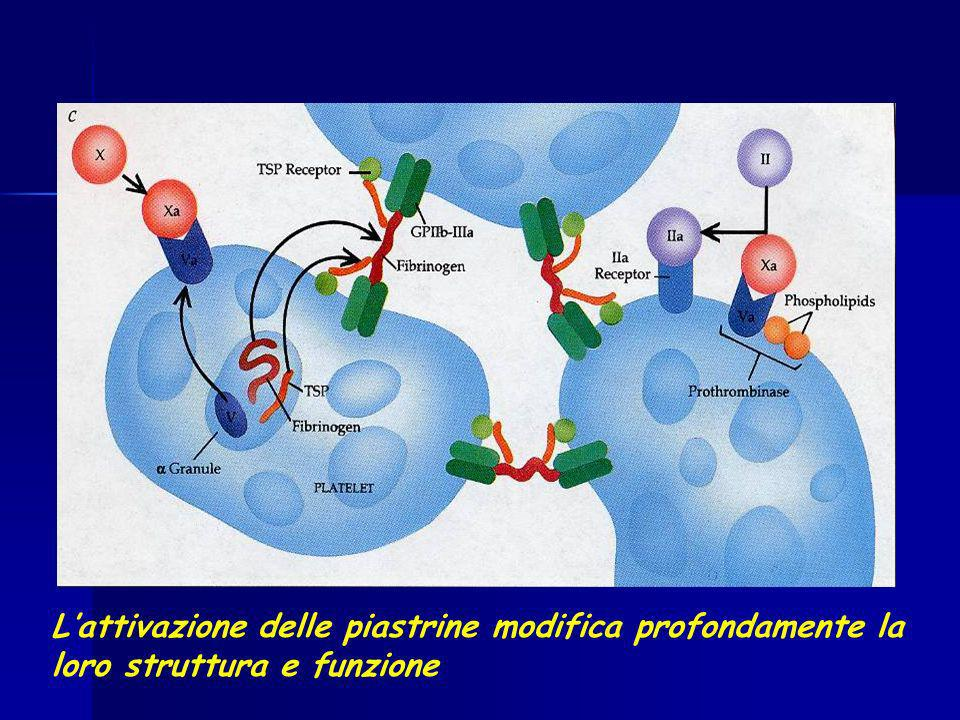 L'attivazione delle piastrine modifica profondamente la loro struttura e funzione