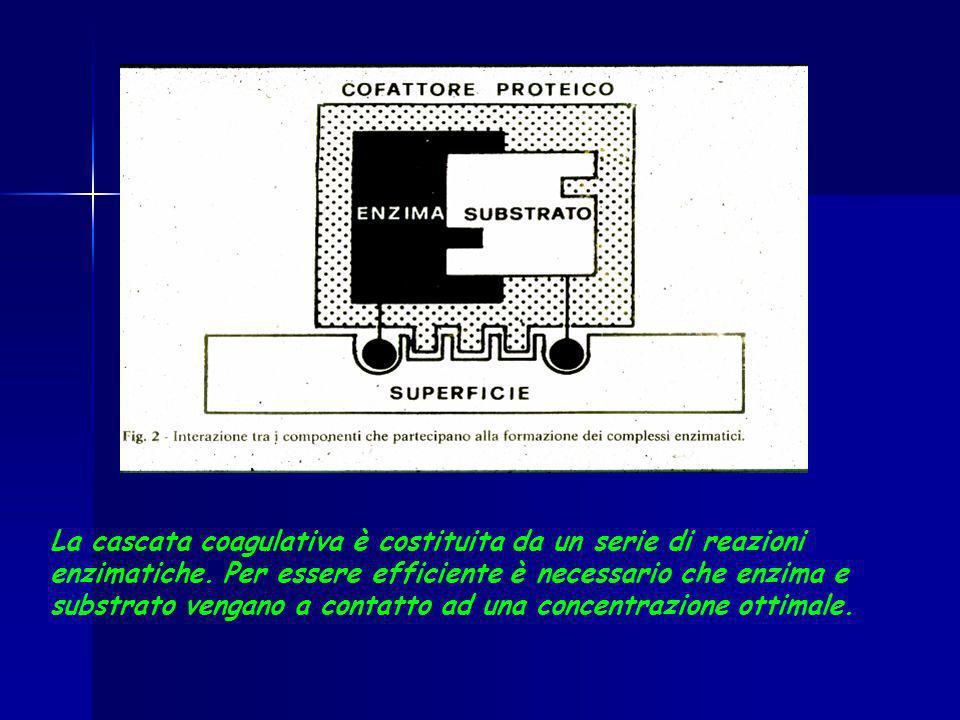 La cascata coagulativa è costituita da un serie di reazioni enzimatiche.