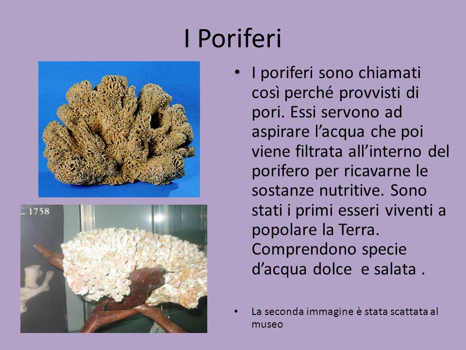 I Poriferi
