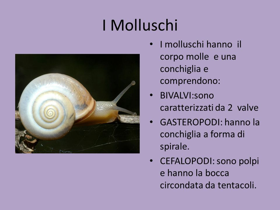 I Molluschi I molluschi hanno il corpo molle e una conchiglia e comprendono: BIVALVI:sono caratterizzati da 2 valve.