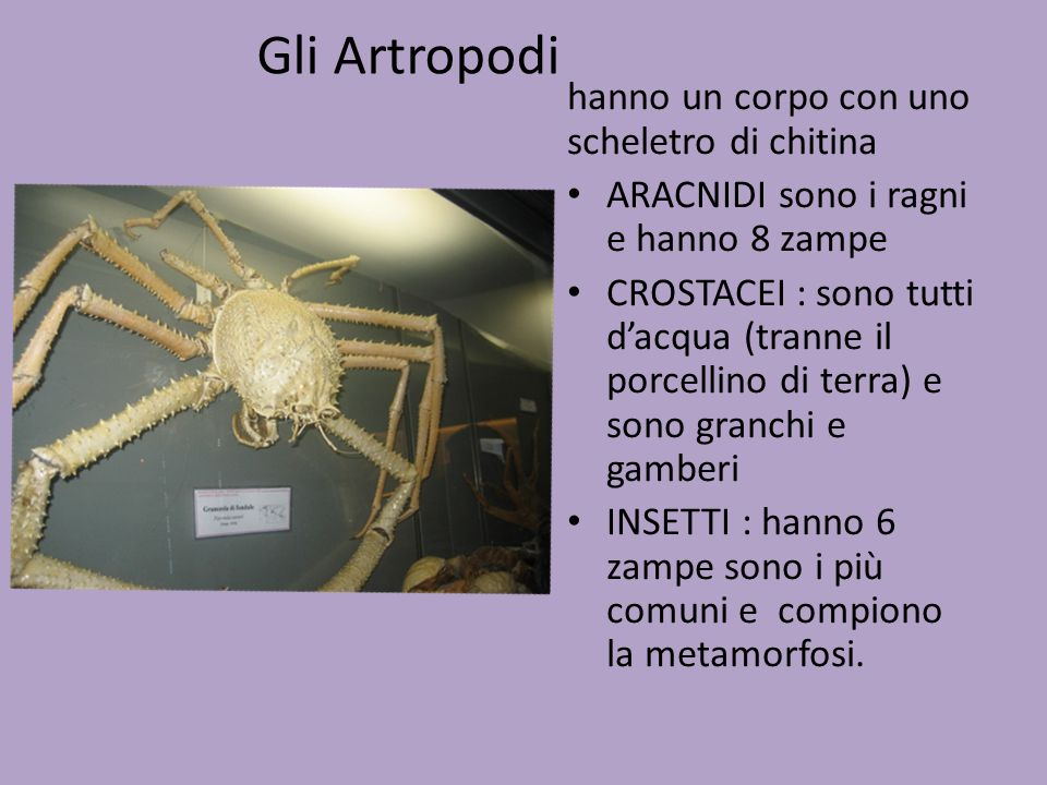 Gli Artropodi hanno un corpo con uno scheletro di chitina