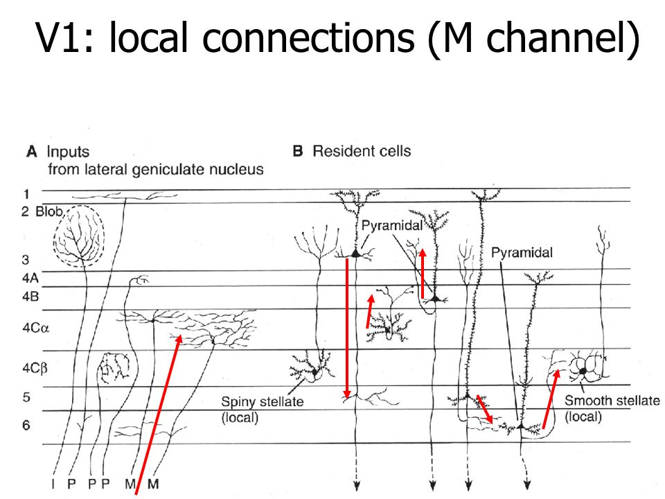 V1: local connections (M channel)