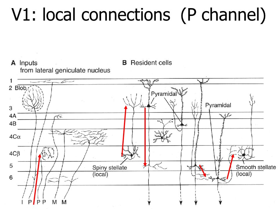V1: local connections (P channel)