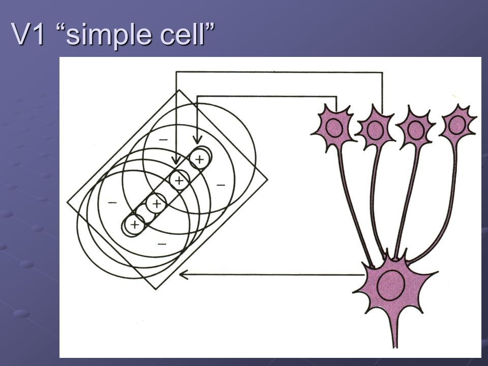 V1 simple cell