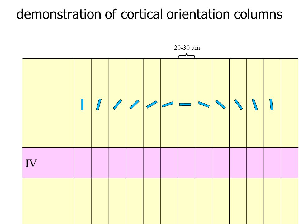 demonstration of cortical orientation columns
