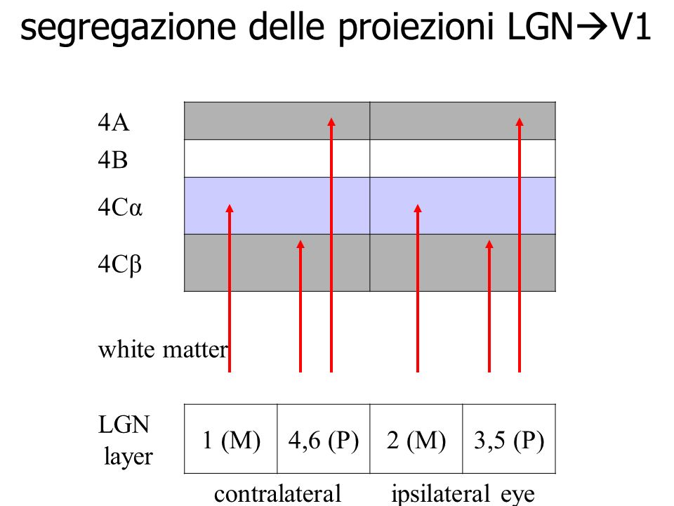 segregazione delle proiezioni LGNV1