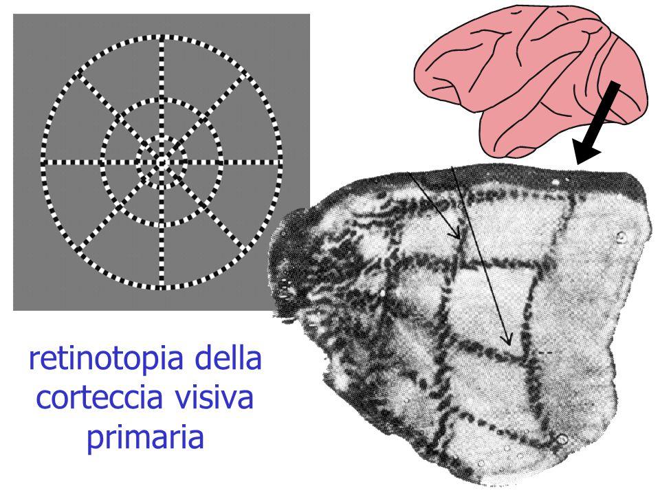 retinotopia della corteccia visiva primaria