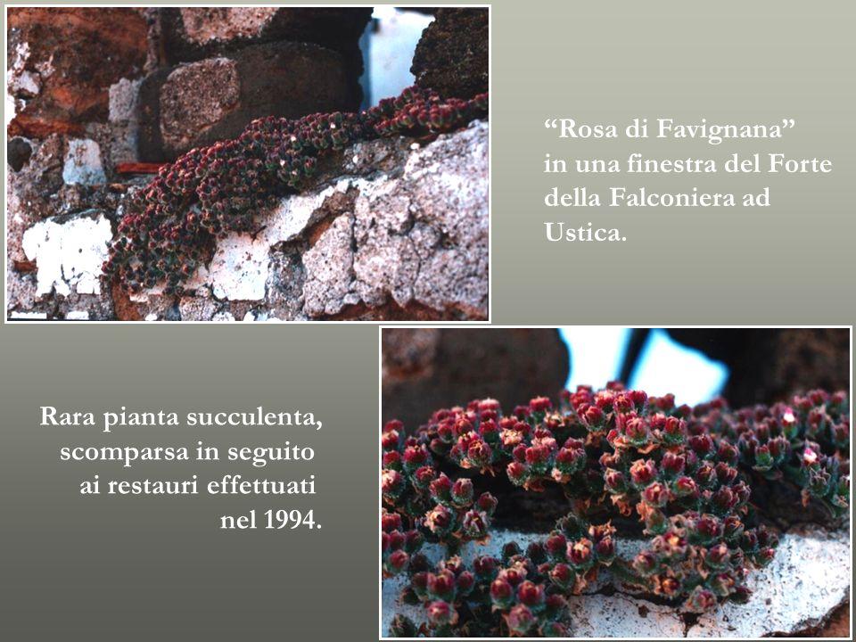 Rosa di Favignana in una finestra del Forte. della Falconiera ad. Ustica. Rara pianta succulenta,