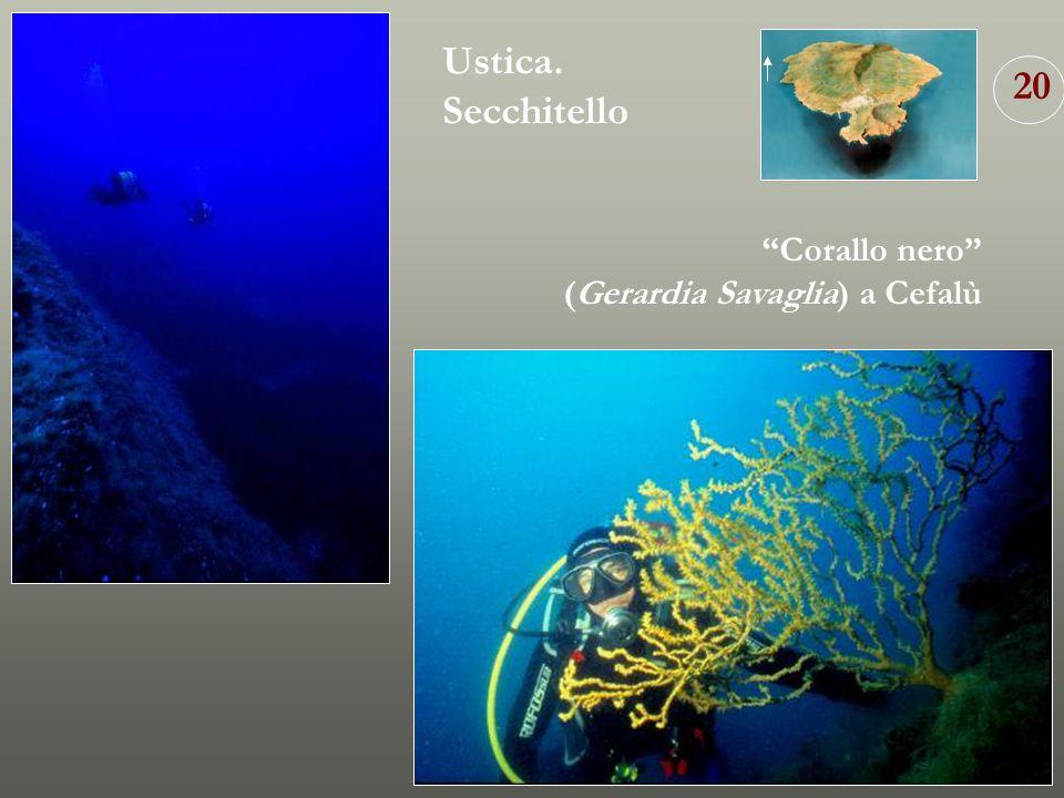 Ustica. Secchitello 20 Corallo nero (Gerardia Savaglia) a Cefalù
