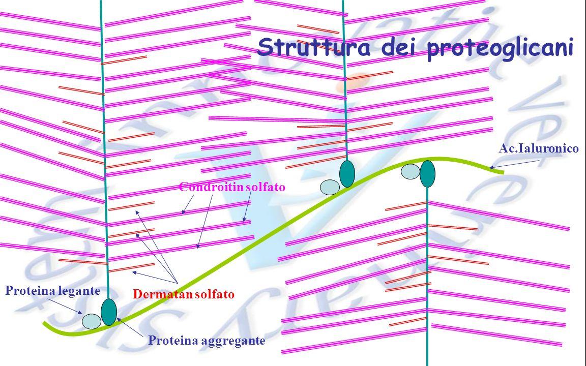 Struttura dei proteoglicani