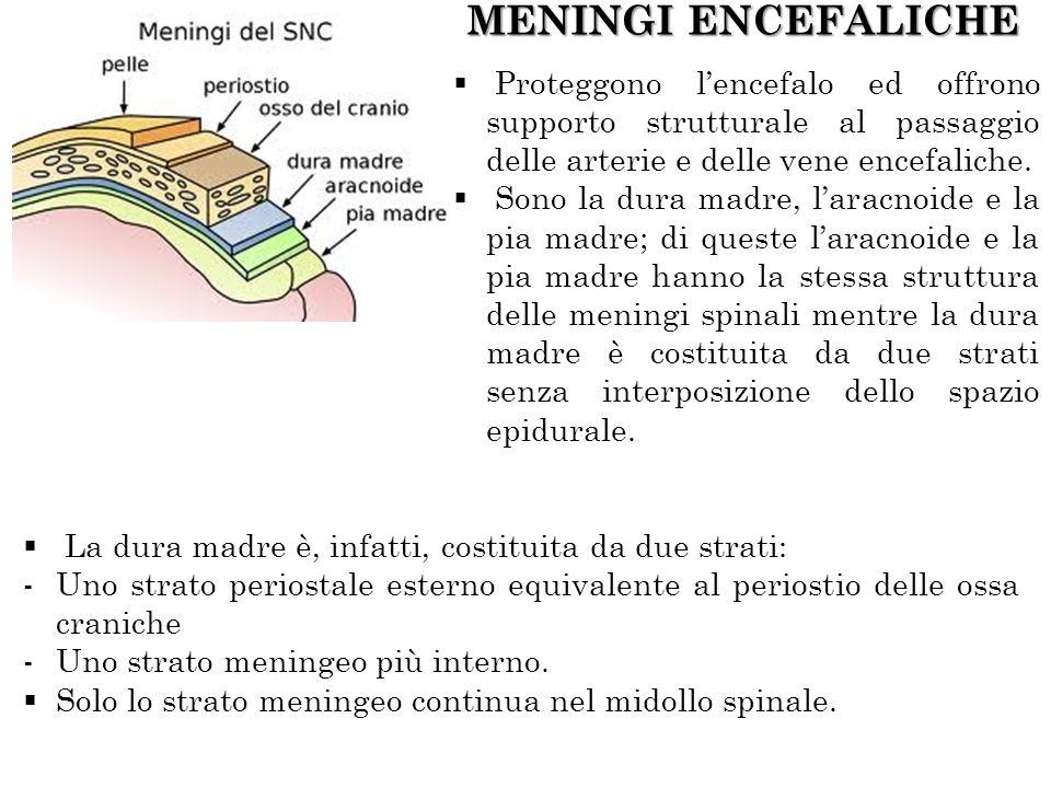 MENINGI ENCEFALICHE Proteggono l'encefalo ed offrono supporto strutturale al passaggio delle arterie e delle vene encefaliche.