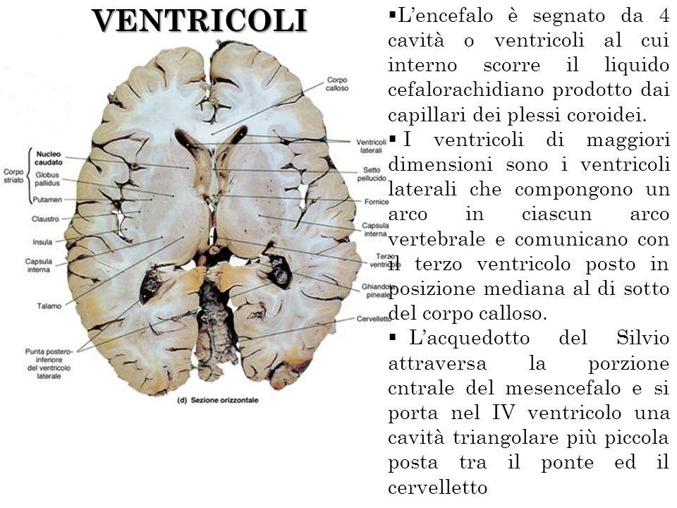 VENTRICOLI