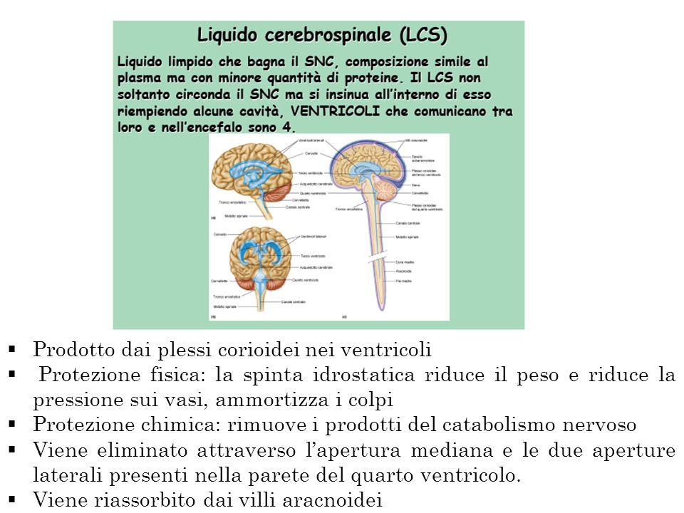 Prodotto dai plessi corioidei nei ventricoli