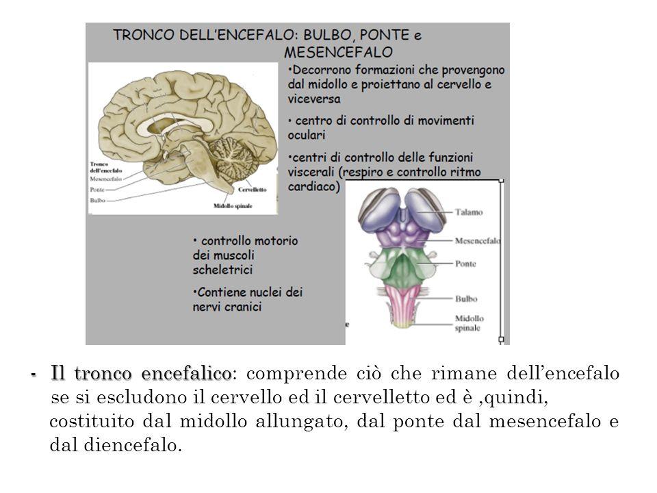Il tronco encefalico: comprende ciò che rimane dell'encefalo se si escludono il cervello ed il cervelletto ed è ,quindi,