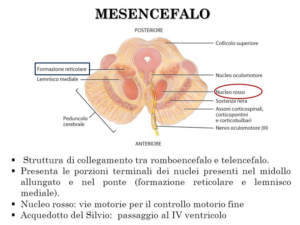 MESENCEFALO Struttura di collegamento tra romboencefalo e telencefalo.