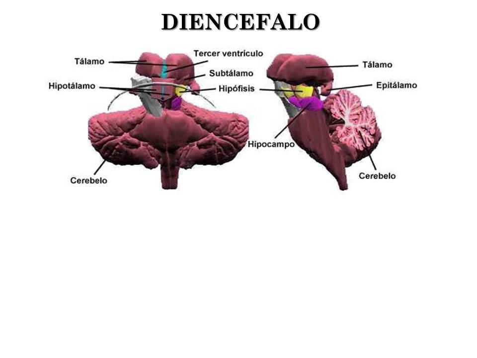DIENCEFALO