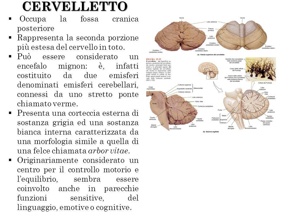 CERVELLETTO Occupa la fossa cranica posteriore