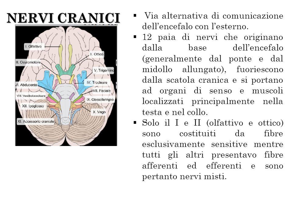 NERVI CRANICI Via alternativa di comunicazione dell'encefalo con l'esterno.