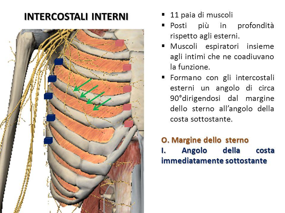 INTERCOSTALI INTERNI 11 paia di muscoli