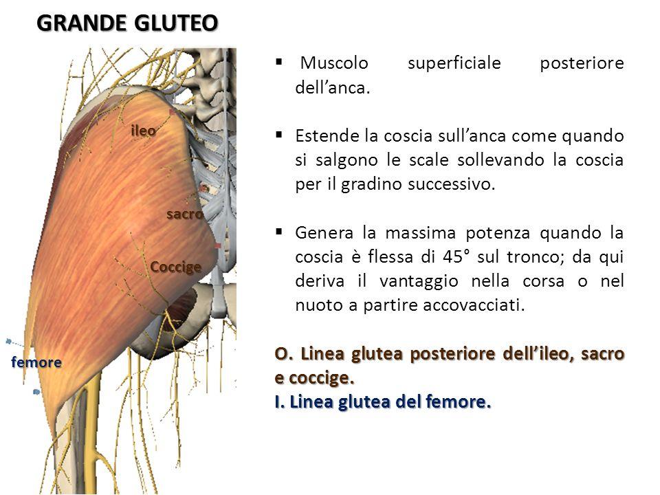 GRANDE GLUTEO Muscolo superficiale posteriore dell'anca.