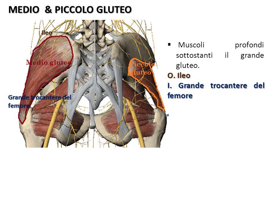 MEDIO & PICCOLO GLUTEO Muscoli profondi sottostanti il grande gluteo.