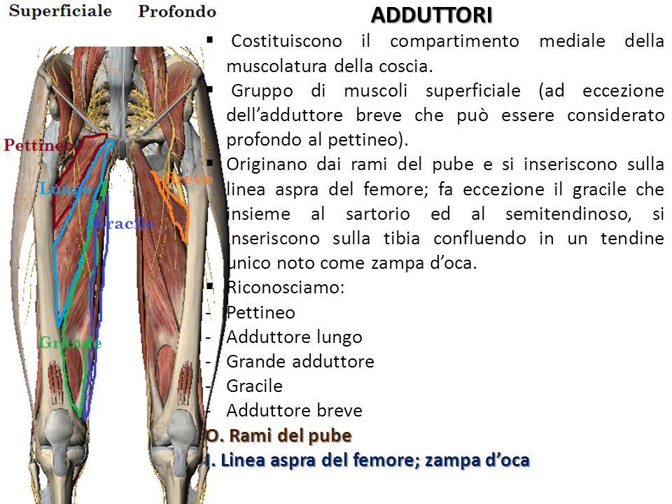 ADDUTTORI Costituiscono il compartimento mediale della muscolatura della coscia.