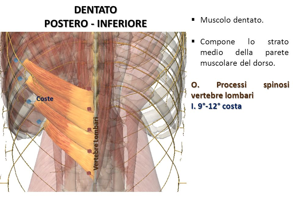 DENTATO POSTERO - INFERIORE
