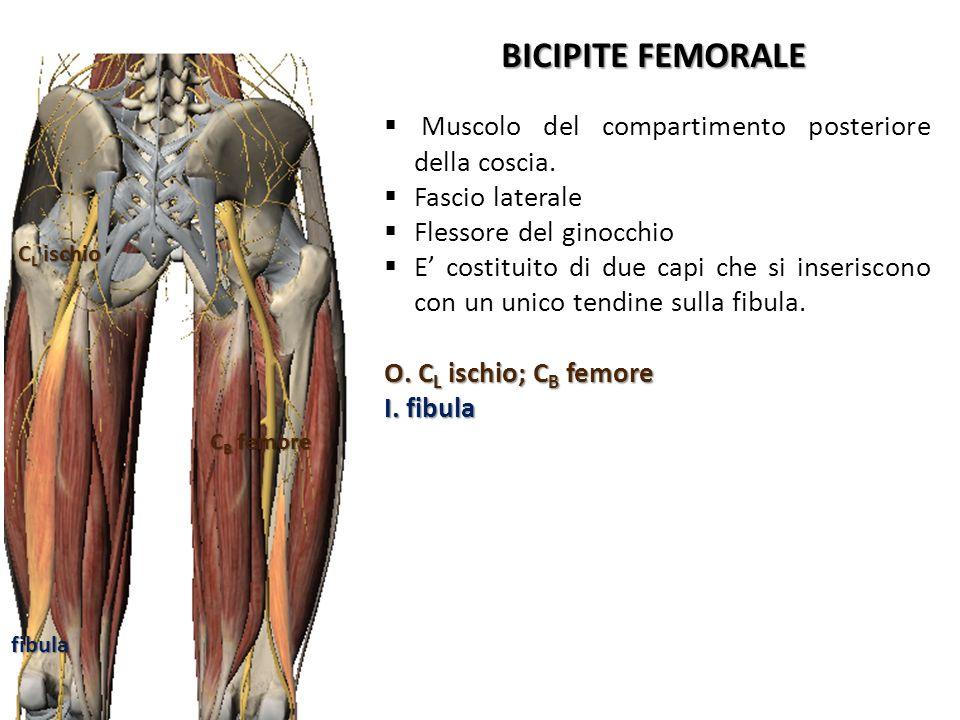 BICIPITE FEMORALE Muscolo del compartimento posteriore della coscia.