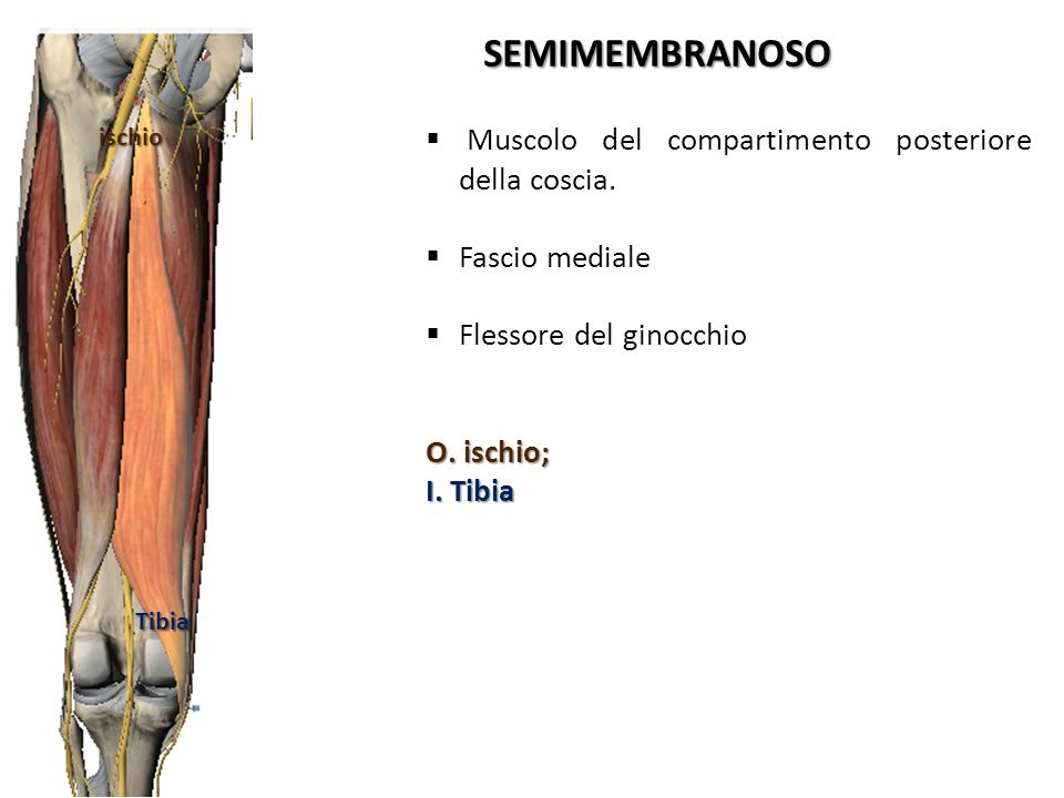 SEMIMEMBRANOSO Muscolo del compartimento posteriore della coscia.