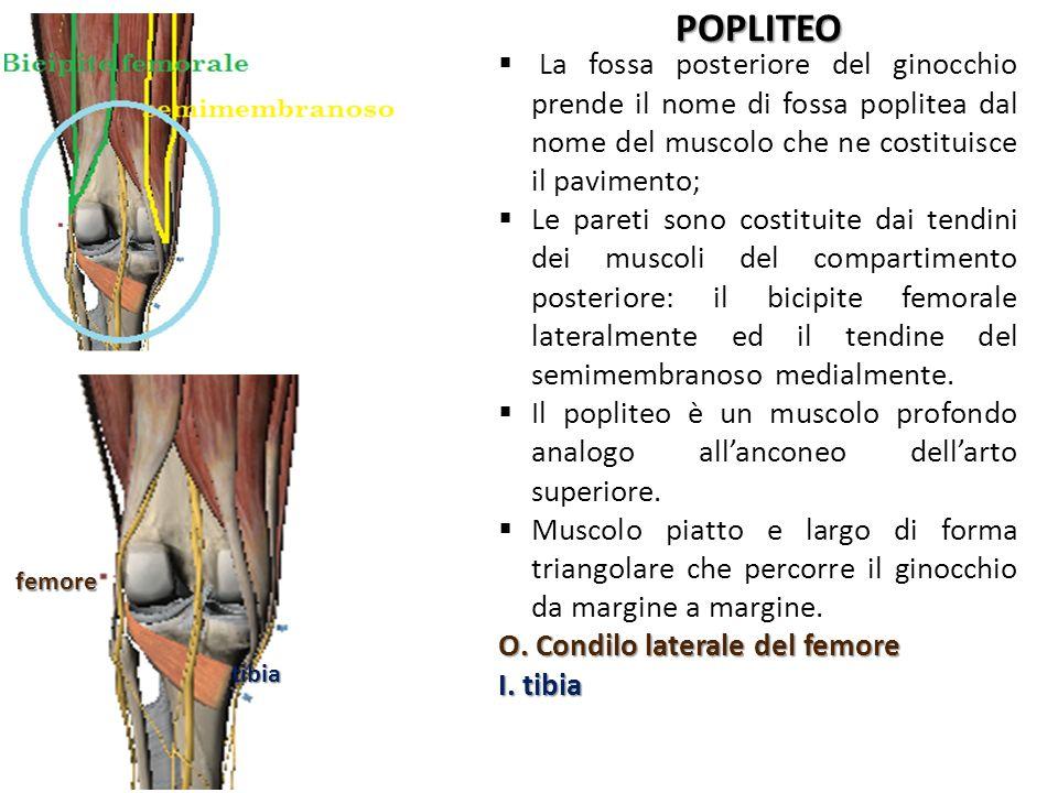 POPLITEO femore. tibia. La fossa posteriore del ginocchio prende il nome di fossa poplitea dal nome del muscolo che ne costituisce il pavimento;