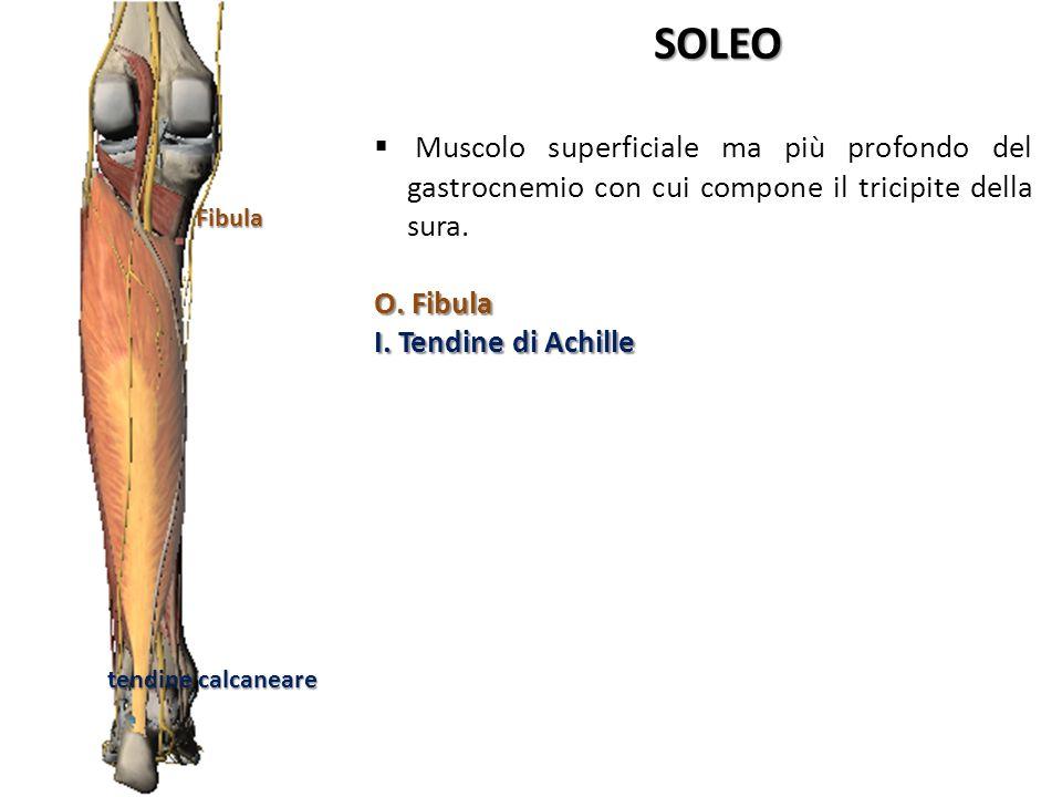 Fibula tendine calcaneare. SOLEO. Muscolo superficiale ma più profondo del gastrocnemio con cui compone il tricipite della sura.