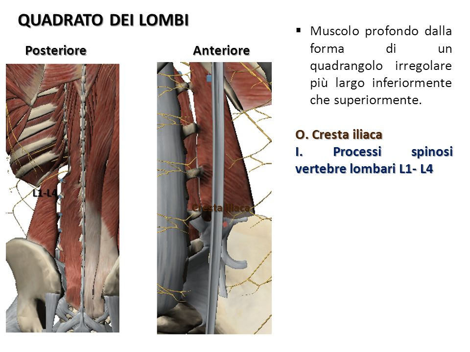 QUADRATO DEI LOMBI Muscolo profondo dalla forma di un quadrangolo irregolare più largo inferiormente che superiormente.